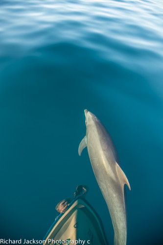 Playing with Dolphins in the Loreto Bay Marine Park DSC_8888